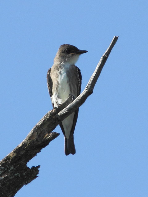 Olive-sided Flycatcher 2-20120906