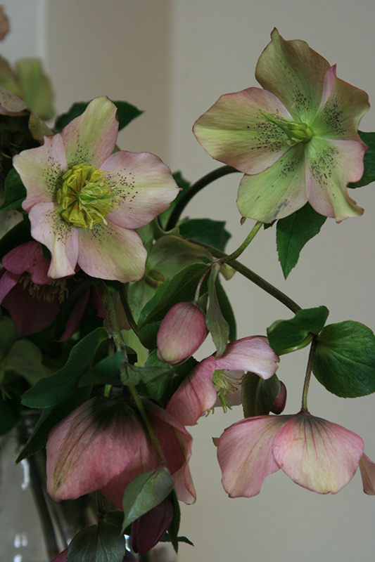 Utterly gorgeous hellebores bought from Farm Gate Market, making my mantelpiece look elegant