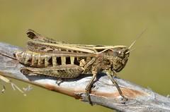 Omocestus haemorrhoidalis female