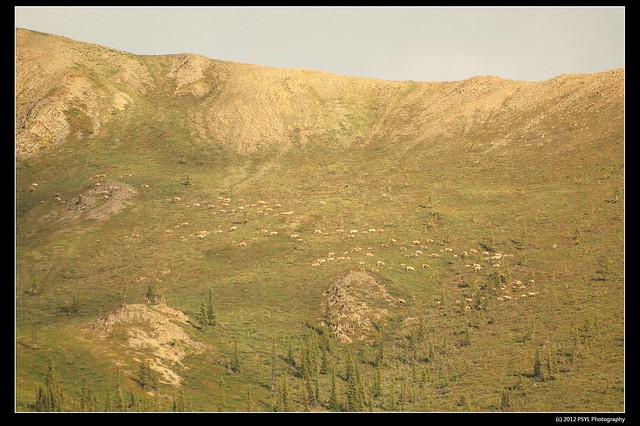 Porcupine caribou migration (Rangifer tarandus granti)