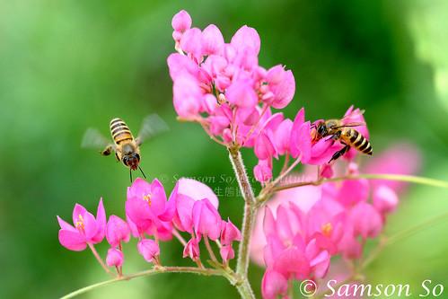 Honey Bees (Apis sp.) foraging on Antigonon leptopus (Polygonaceae)