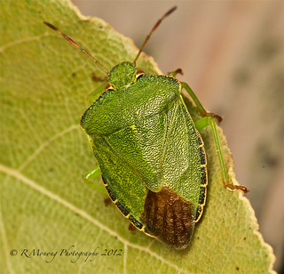 Green shield bug - Explored Sept 13, 2012