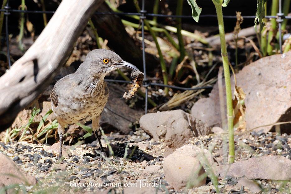090112_05_bird_ground_thrasher