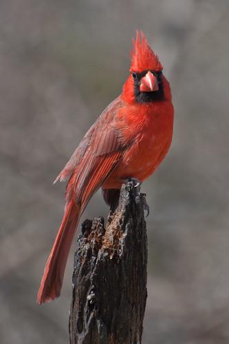 Cardinal Stump