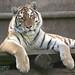 Siberian Tiger by marymac28