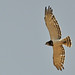 Black-chested Snake Eagle (Tim Meling)