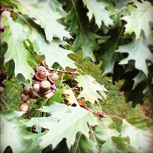 laden oak tree#urbannature #unschooling