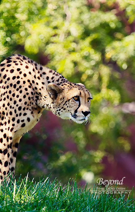 TZoo_Cheeta4_092012