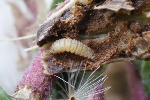 Adaina microdactyla - larva in Hemp-agrimony stem (2)