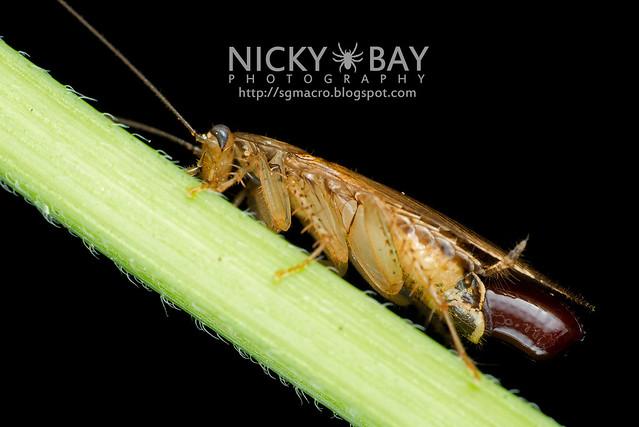 Cockroach (Blattodea) - DSC_0734