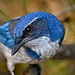 California Scrub Jay by Toms Nature Photos