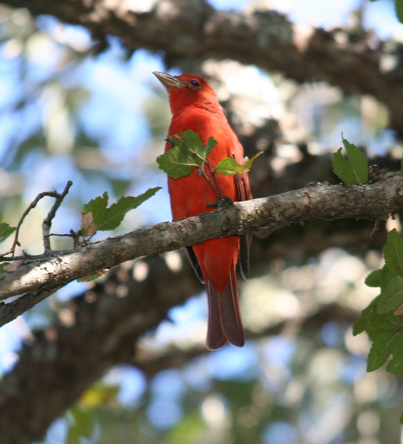 summer tanager (2)