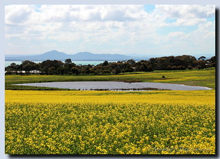 canola on corio bay