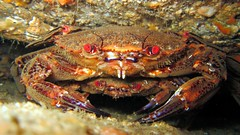 spiny lobster(0.0), fish(0.0), dungeness crab(0.0), homarus gammarus(0.0), homarus(0.0), food(0.0), american lobster(0.0), crab(1.0), animal(1.0), freshwater crab(1.0), shellfish(1.0), crustacean(1.0), seafood(1.0), marine biology(1.0), invertebrate(1.0), fauna(1.0),