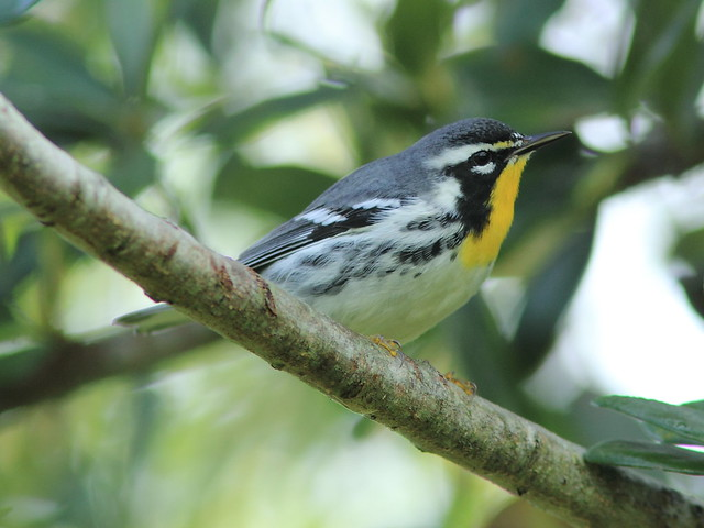 Yellow-throated Warbler 00-20120924