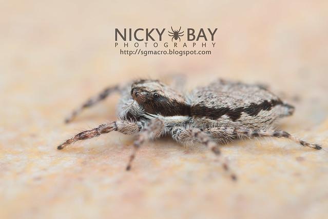 Common House Jumper (Menemerus bivittatus) - DSC_5737