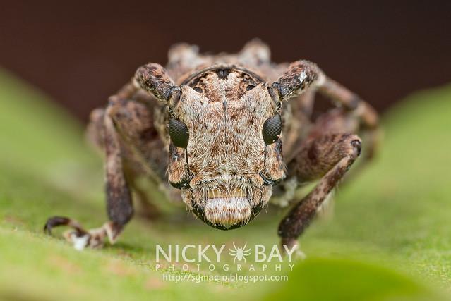 Longhorn Beetle (Cerambycidae) - DSC_5458