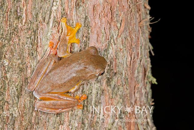 Twin-spotted Flying Frog (Rhacophorus bipunctatus) - DSC_5373
