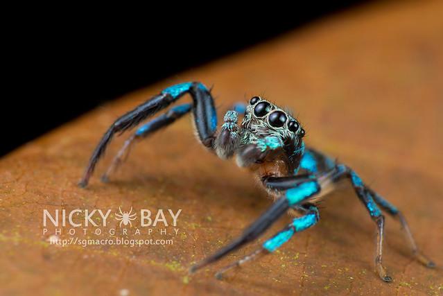 Fighting Spider (Thiania bhamoensis) - DSC_9508
