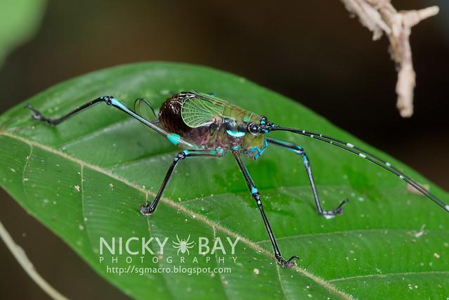 Katydid (Tettigoniidae) - DSC_9126