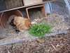 chickens love chickweed