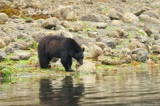 Vancouver Island Black bear (Female) #5