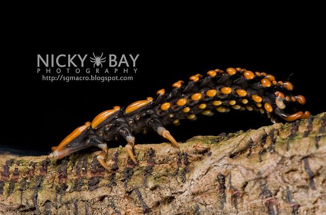 Trilobite Beetle (Duliticola sp.) - DSC_7471