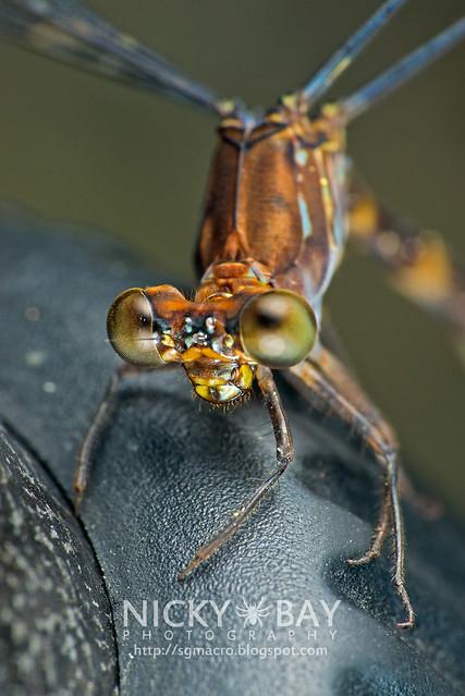 Damselfly (Zygoptera) - DSC_7225