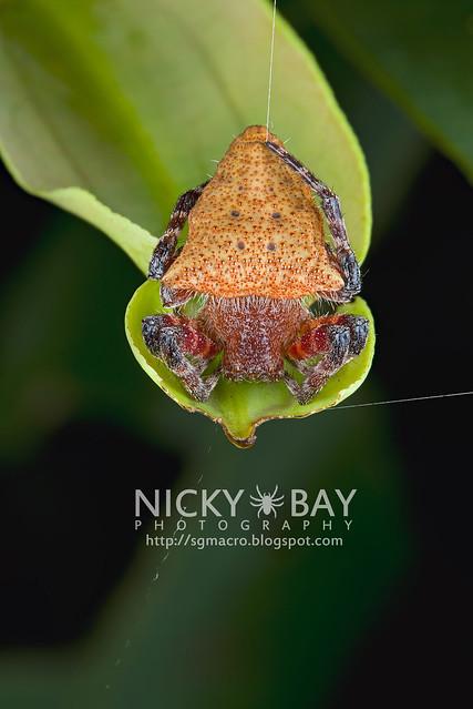 Red Tent Spider (Cyrtophora unicolor) - DSC_5170