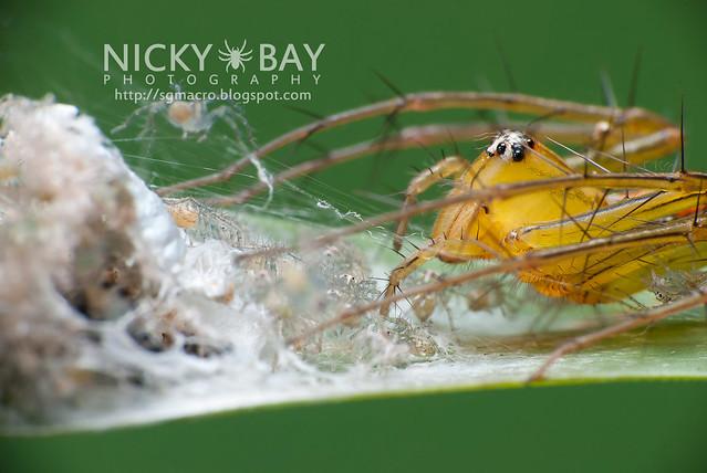 Lynx Spider (Oxyopidae) - i02759