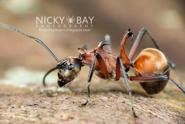 Fish Hook Ant (Polyrhachis bihamata) - DSC_4343