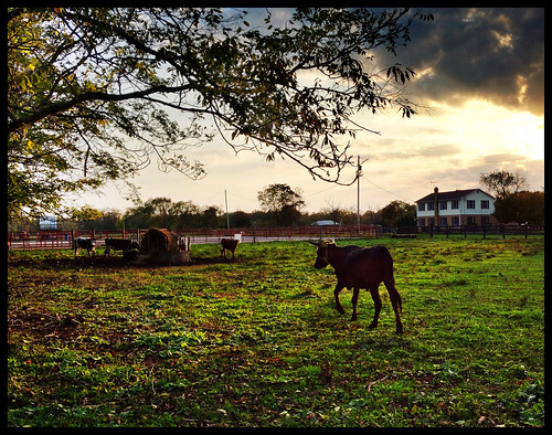 autumn cow farm oct 2012 1005 366