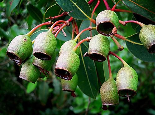 Gum nuts