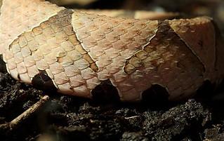 百步蛇身上的斑紋非常美麗,也成為原住民裝飾的圖騰。