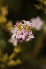 Coleonema pulchrum 'Aurea' (Golden Diosma)