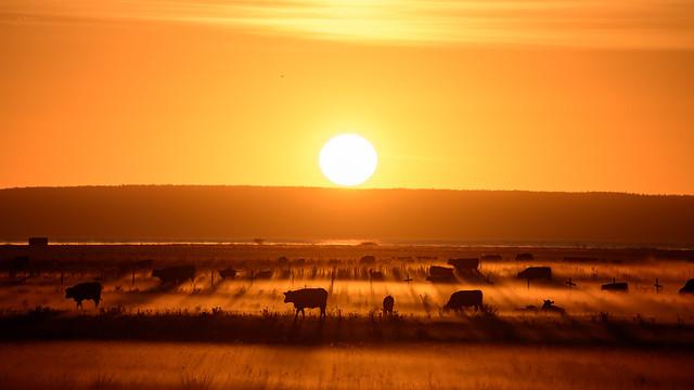 Cows in pasture mist