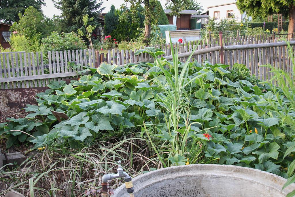 Interesting Flickr Photos Tagged Kurbispflanze Picssr