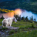 Glacier Mountain Goat by Theresa Rasmussen