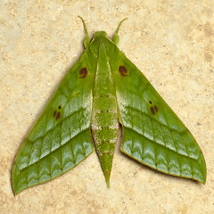 Sphinx Moths of Ecuador