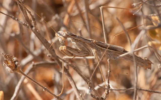 Well camouflaged Mantis