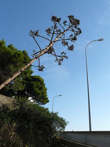 agave de l'été précédent