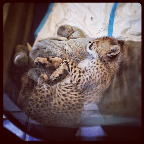 I'm voting MOAR BABY CHEETAH in 2012. ✌