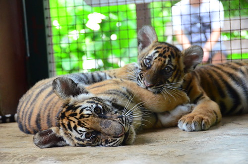 7936197752 722ec5f0bd Are Thailands Tiger Farms Ethical?