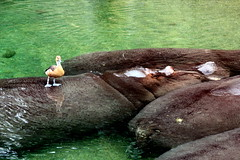 Hippo-Island (CC)