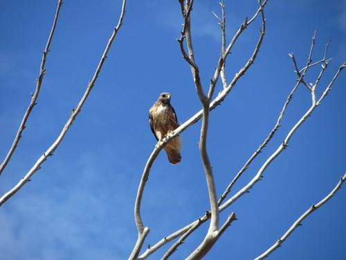 hawk in malibu