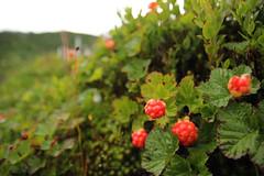 shrub(0.0), flower(0.0), produce(0.0), food(0.0), berry(1.0), leaf(1.0), plant(1.0), flora(1.0), fruit(1.0), cloudberry(1.0),