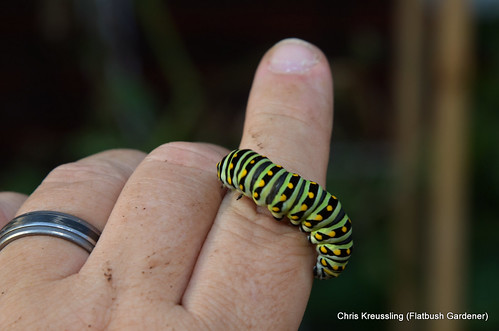 A caterpillar of Papilio polyxenes, Eastern Black Swallowtail, on my hand
