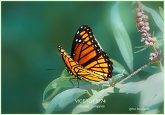 Viceroy Butterfly photography by Ron Birrell; DSC_9774