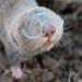 Hungarian Mole Rat (Jon Stokes)