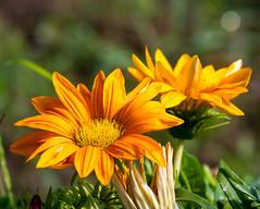 Orange flowers / Fiori arancioni